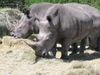 260pxwhite_rhinos