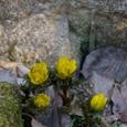 春の訪れ・福寿草