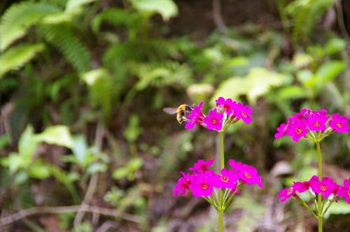 ミツ集めに大忙しのクマ蜂。