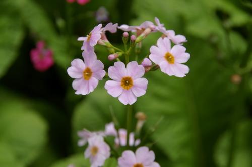 クリン草。かわいいピンクですね。
