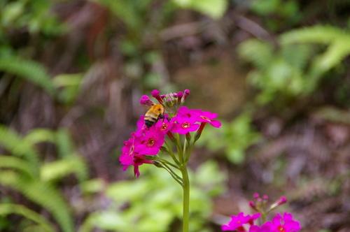 花のミツに夢中のクマ蜂です。